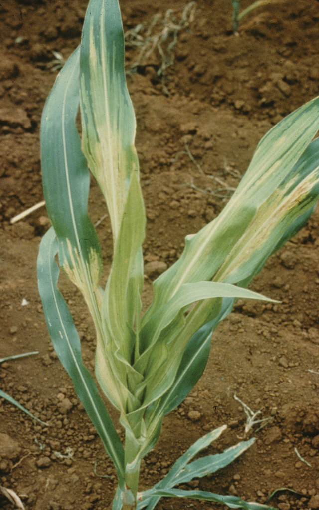 Downy mildew of maize