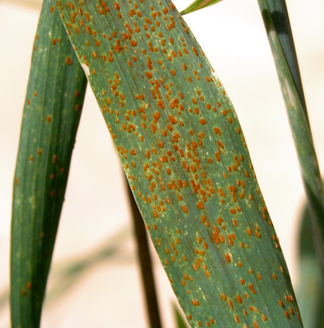 brown leaf rust of wheat
